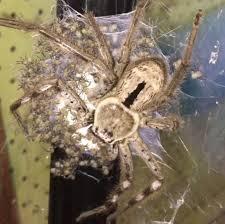 spine tingling videos shows hundreds of huntsman spiders crawling