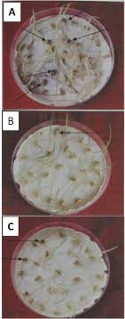 efficacy of medicinal plants against seed borne fungi of wheat