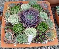succulent planters for sale fresh australia indoor succulents buy 19348