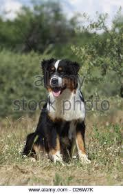 australian shepherd black australian shepherd dog black tricolor puppy with blue eyes