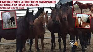 mustang adoption hundreds of horses up for adoption could get slaughtered cbs denver