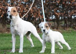 bichon frise x jack russell parson russell terrier breeders within the united states puppies