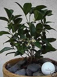 Fragrant Patio Plants - amazon com two 2 osmanthus fragrans tea olive fragrant live