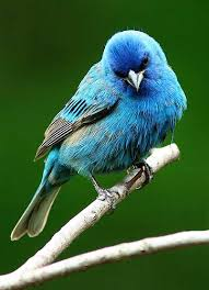 How To Attract Indigo Buntings To Your Backyard Best 25 Bunting Bird Ideas On Pinterest Painted Bunting Pretty