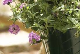 Verbena Flower When Do I Cut Off Dead Foliage From A Homestead Verbena Home