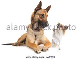 belgian sheepdog white purebred belgian sheepdog malinois and chihuahua on a white stock
