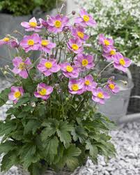 fantasy cinderella anemone plants encyclopedia