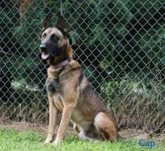 belgian malinois near me belgian malinois breeders germany puppies pinterest belgian