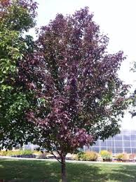 pyrus calleryana redspire from neil vanderkruk holdings inc