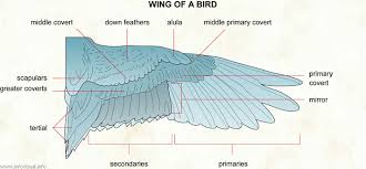Bird Wing - wing of a bird visual dictionary