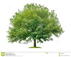 White Oak Tree Mighty Oak Tree Stock Photos Images U0026 Pictures 1 050 Images