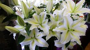 white lillies flowers wallpapers white lilies hd wallpaper wallpapers13
