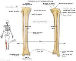 skeletal system bones lessons tes teach