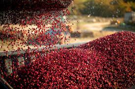 cranberry tours massachusetts cranberry tours cranberry harvest ma