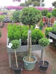 English Box Topiary - topiary in devonport area tas plants gumtree australia free