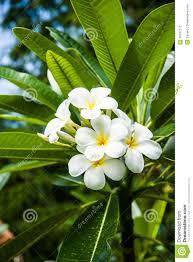 100 plumeria flower information plumeria plumeria pudica