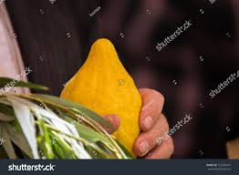 etrog for sale citrus etrog sale ritual plants on stock photo 723556447