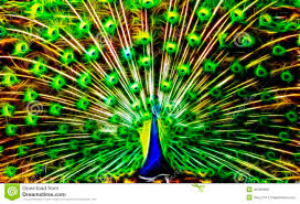peacock in light stock image image of flower nature 49182929