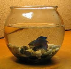Beta Fish In Vase Fish Care Siamese Fighting Fish Pethelpful