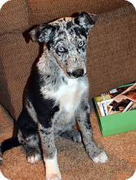 australian shepherd catahoula mix cherokee blue eyes adopted puppy clinton la australian