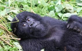 rwanda 5 fun facts infinite safari adventures blog infinite