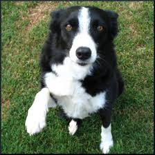 australian shepherd kidney disease lassie get help vestibular disease leave a light on