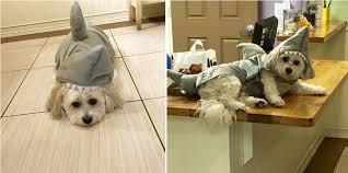Dog Shark Halloween Costume Brookline Veterinarian Dog Daycare U0026 Dog Walking Beantown Bed