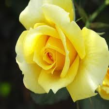 Picture Of Roses Flowers - 25 best yellow rose u0027s and more images on pinterest flowers