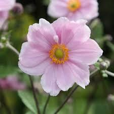 buy japanese anemone anemone hybrida u0027elegans u0027