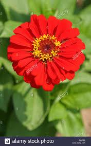 bright red oriental asian japanese gerbera daisy like flower