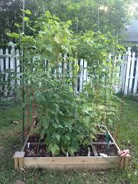 Okra Container Gardening Okra The Heirloom Salad