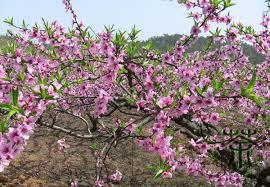deciduous tree prunus persica seeds 60pcs ornamental flowering