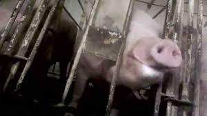 mercy for animals walmart pork supplier pig abuse youtube