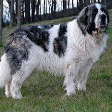 Canine Creature Comforts 111 Best Livestock Guardian Dogs Images On Pinterest Livestock
