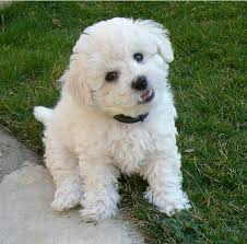 bichon frise cute cute bichon frise puppy in white looking at the camera png on the hunt