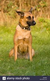 belgian shepherd or malinois domestic dog malinois belgian shepherd dog mechelaar stock photo