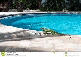 iguana at poolside key west stock image image 56310005