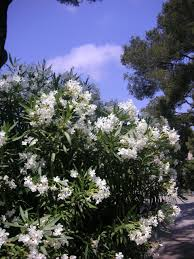 oleander want some along the side fence for privacy outside