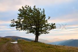 lonely tree in evening autumn mountain carpathian mountains