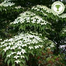 cornus kousa var chinensis white flowering dogwood trees