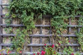 fast growing and climbing plants for a trellis ehow