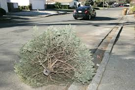 Christmas Tree Pick Up Christmas Tree Pickup This Weekend American Canyon News