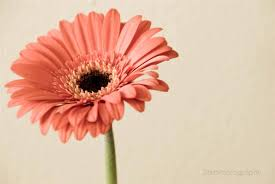 coupon code 1stpurchase pink daisy photography print