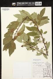 native plants wisconsin online virtual flora of wisconsin malus toringo