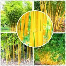 home garden decoration home garden decoration bag bamboo seeds hardy clumping type garden