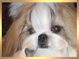 nc shih tzu breeder shih tzu puppies for sale shih tzu adoption