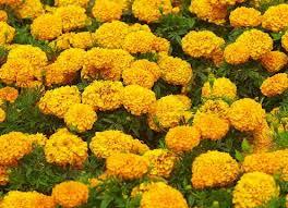 Calendula Flowers Calendula Health Benefits Calendula Healing Properties Uses Of