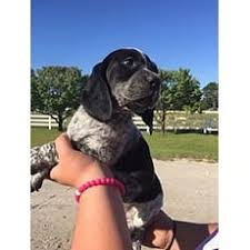 bluetick coonhound puppies illinois good with kids bluetick coonhound for adoption