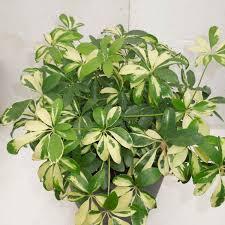 sanjay nursery plant nursery in pune mumbai india indoor plants