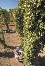 economic considerations before planting hops